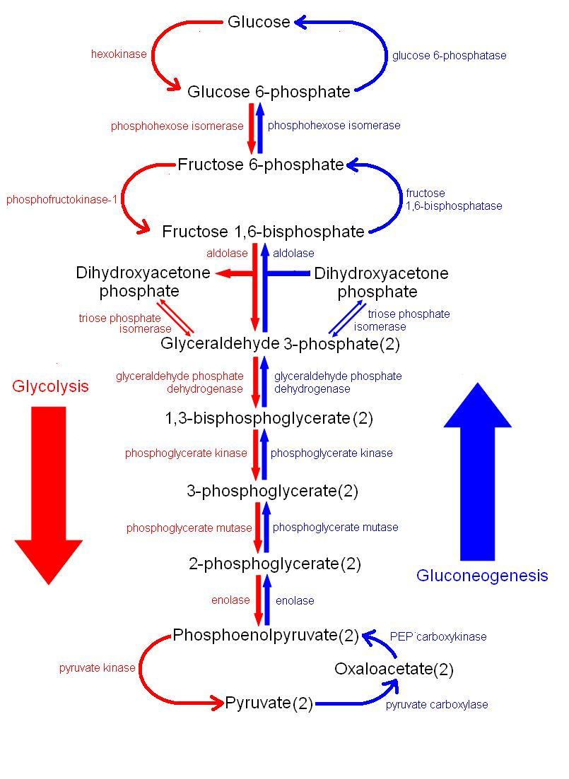 Plant Metabolism: Lipid Metabolism (Gluconeogenesis)
