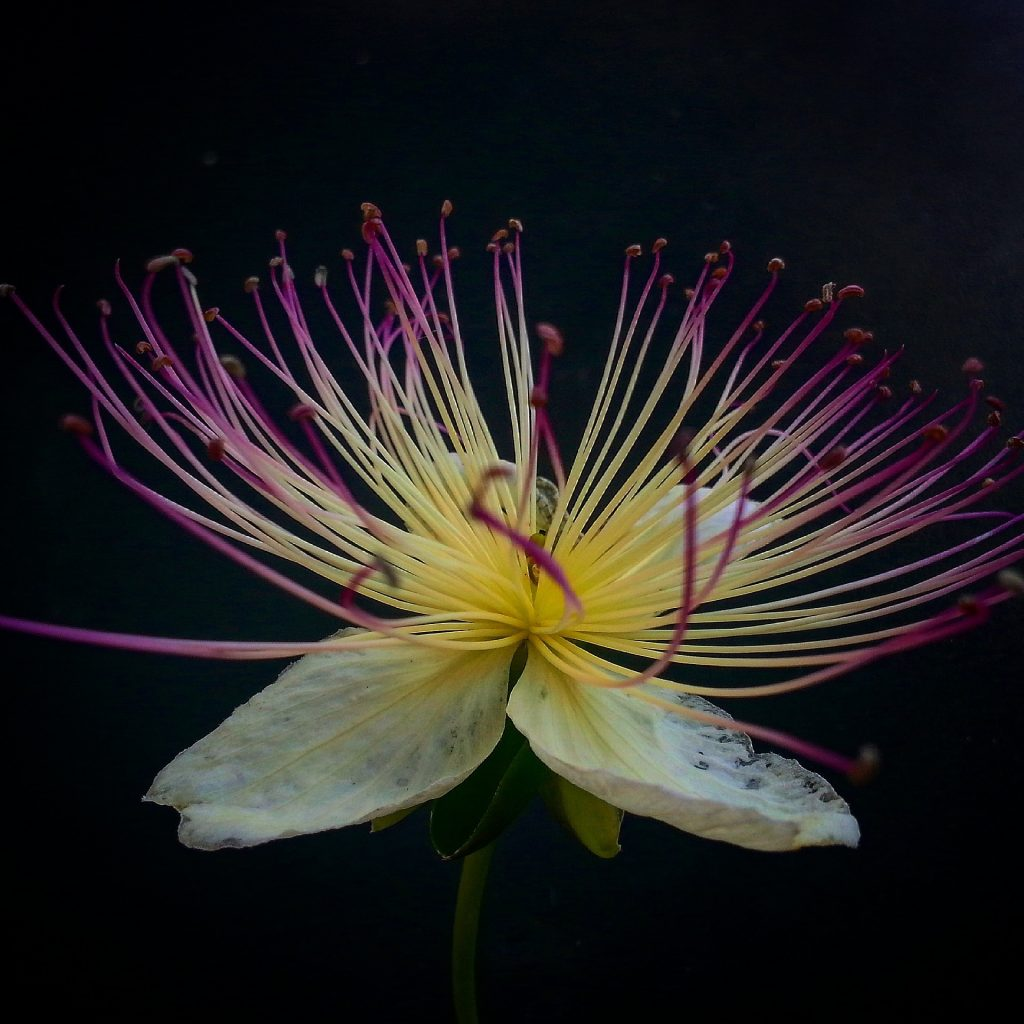 Himsra (Capparis spinosa)
