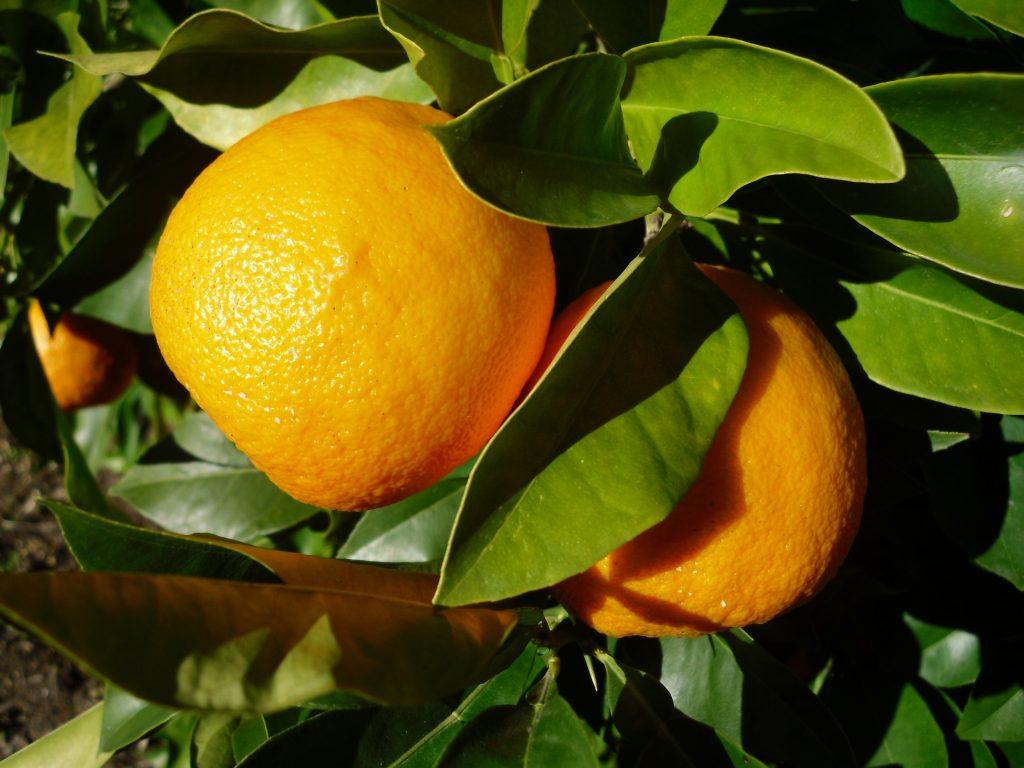 bitter orange synephrine anxiety depression