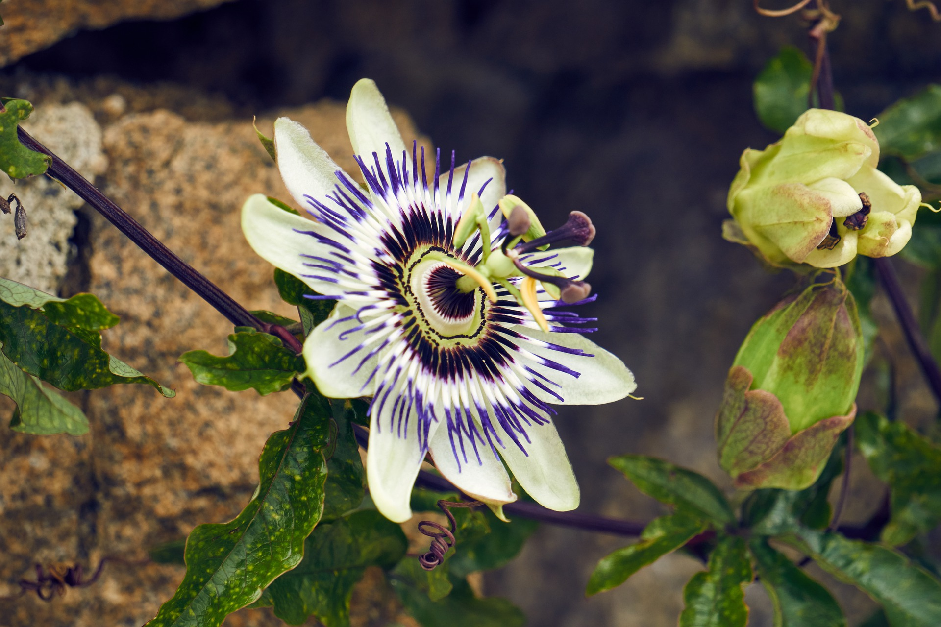 passionflower anxiety depression