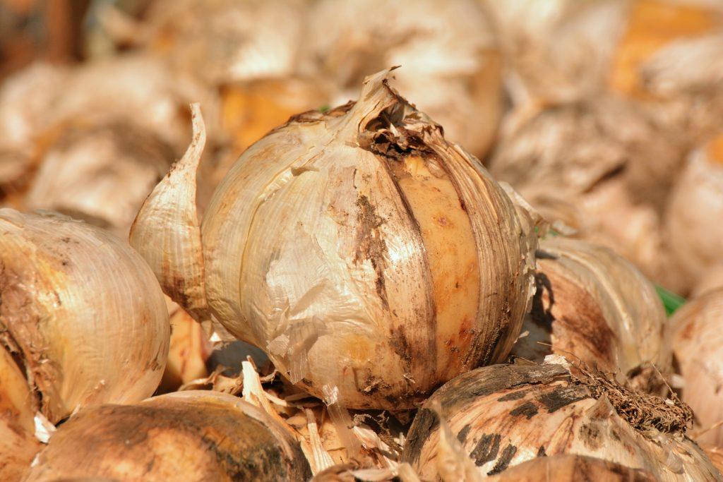 onion allium cepa depression anxiety