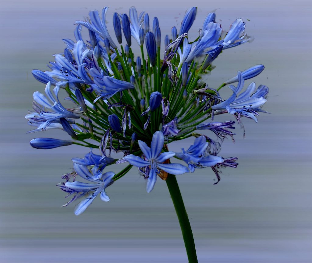 bell african lily mood anxiety depression