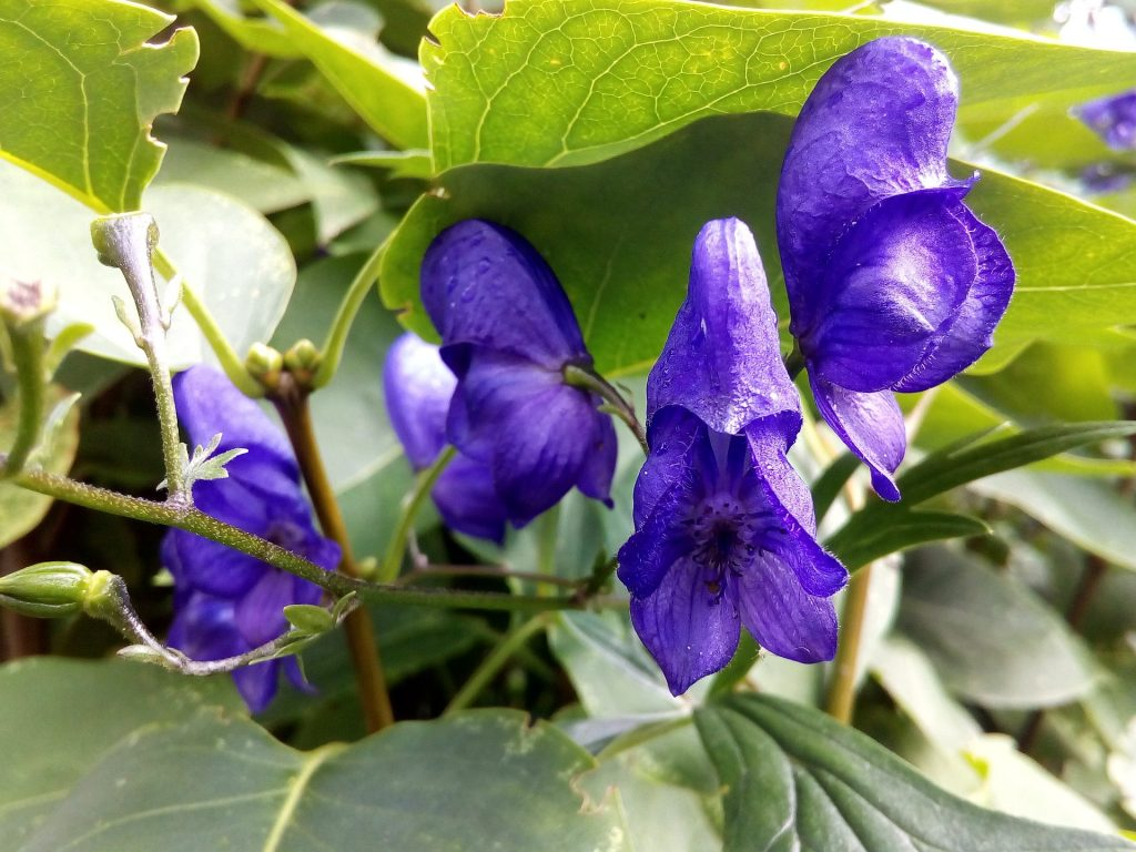 american skullcap flavonoids anxiety depression