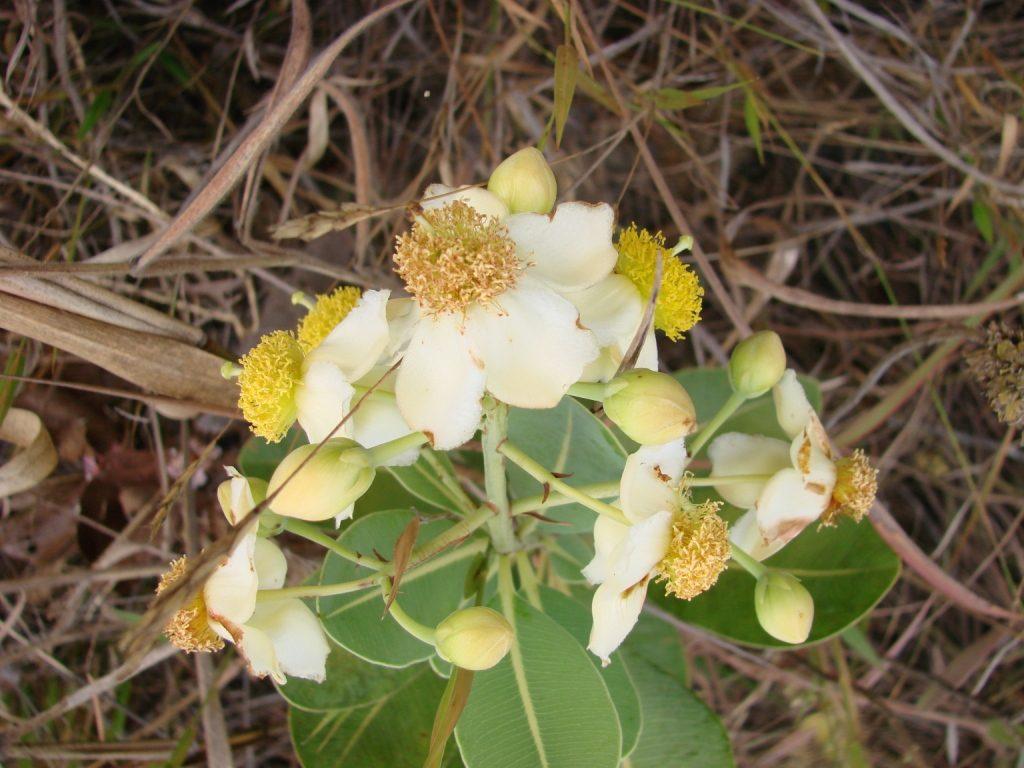Pau Santo (Kielmeyera coriacea)