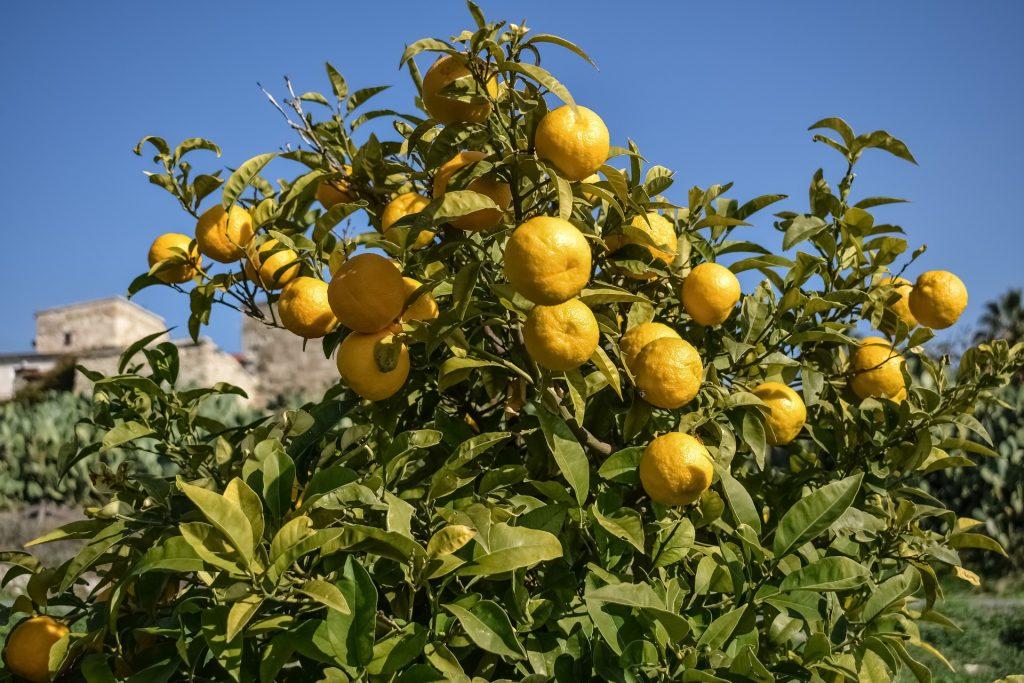 citrus aurantium polyphenols