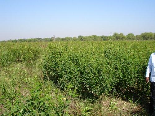 Chlorophytum borivilianum adaptogenic antioxidant