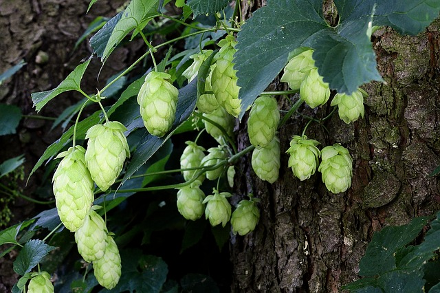 hops mood anxiety depression